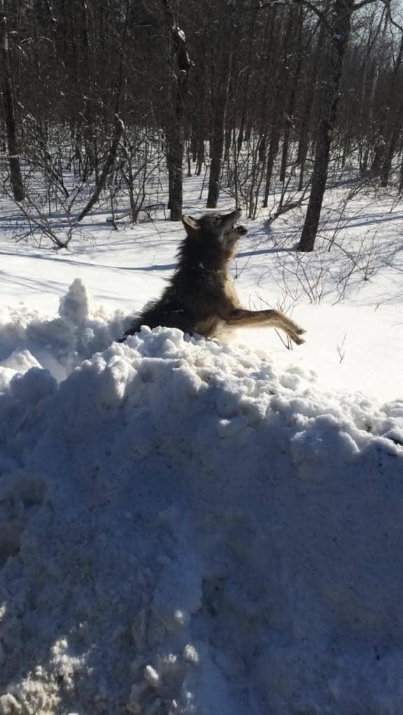 Maine Frozen Coyote