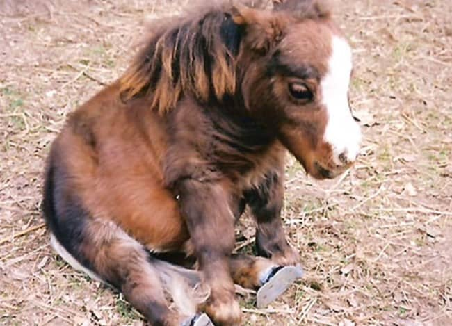 The Smallest Horse In The World Just So Happens To Also Be ...