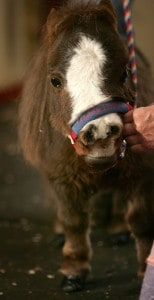 World's Smallest Horse Visits New York City