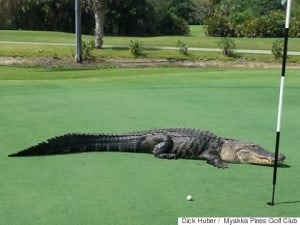 s-GOLF-COURSE-GATOR-480x360