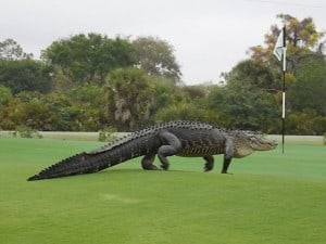 wptv-alligator-myakka-pines-club_1426062830435_14824187_ver1.0_640_480