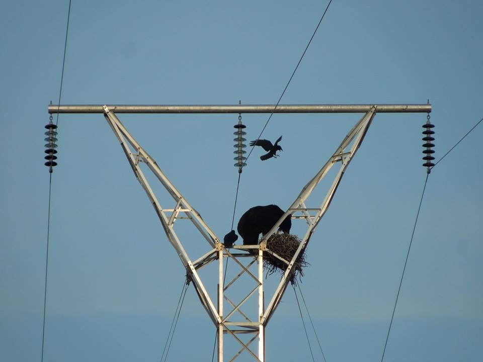 bear electric pole3