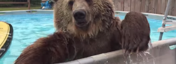 'Bruiser' The Brown Bear Goes For A Swim In Sanctuary Pool