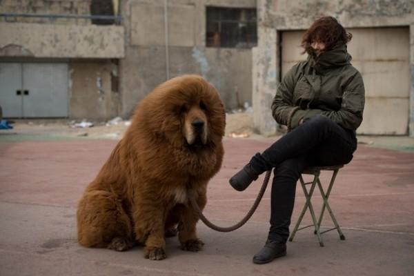 mastiff2