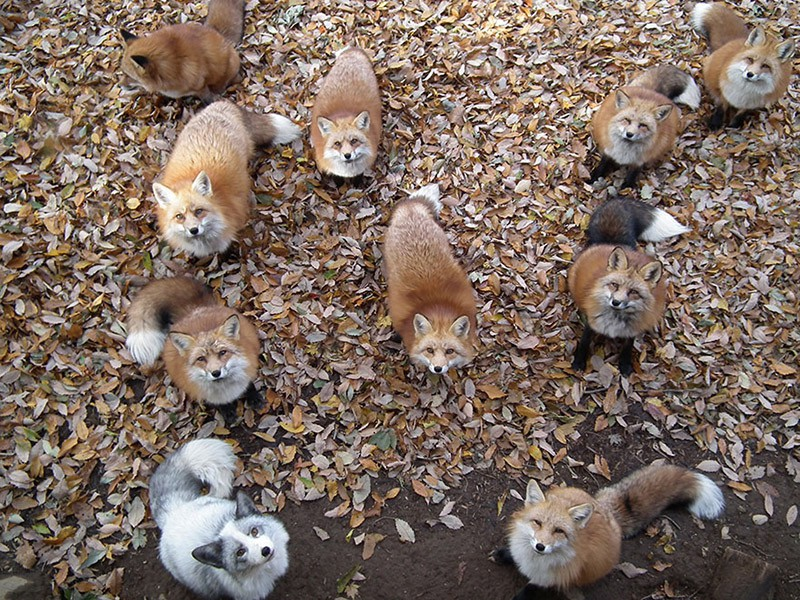 fox villiage