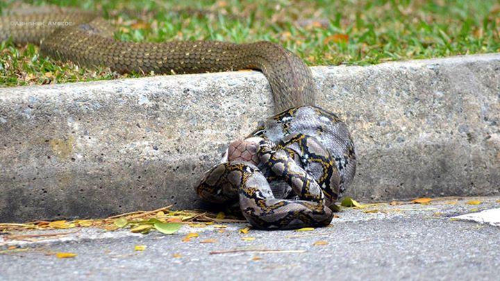 snakefight2
