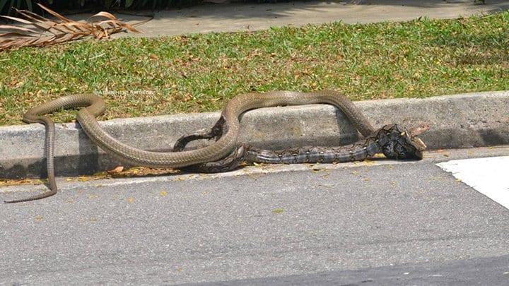 snakefight3