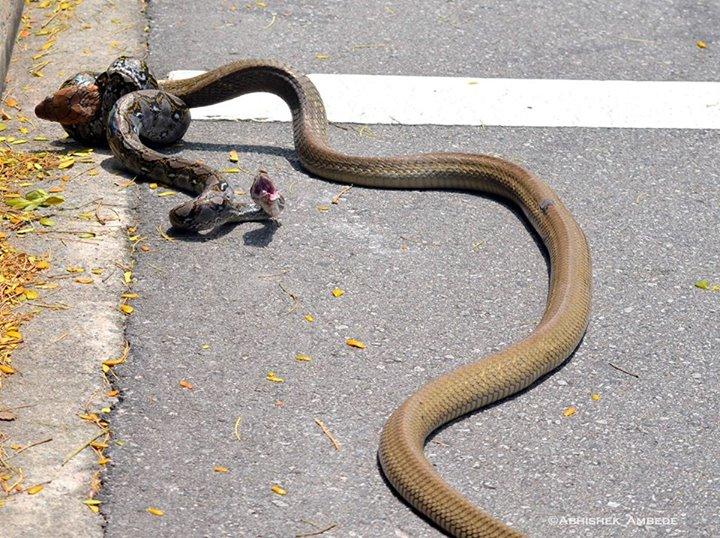 snakefight6