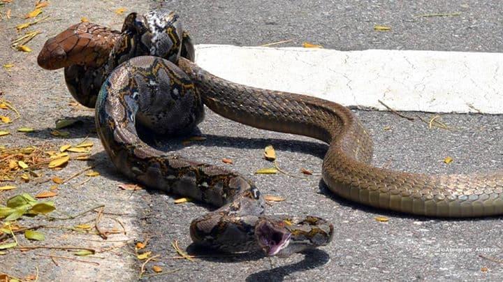 snakefight7