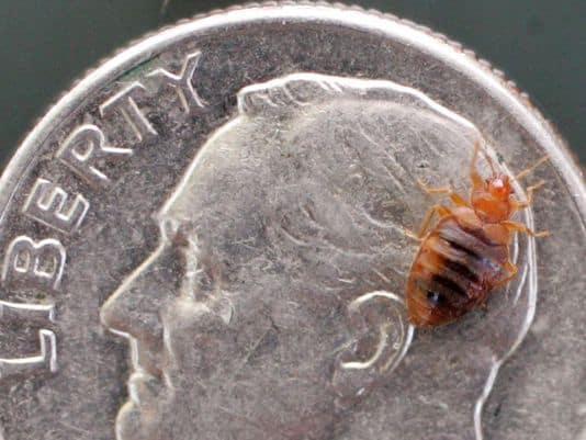 bedbugs2