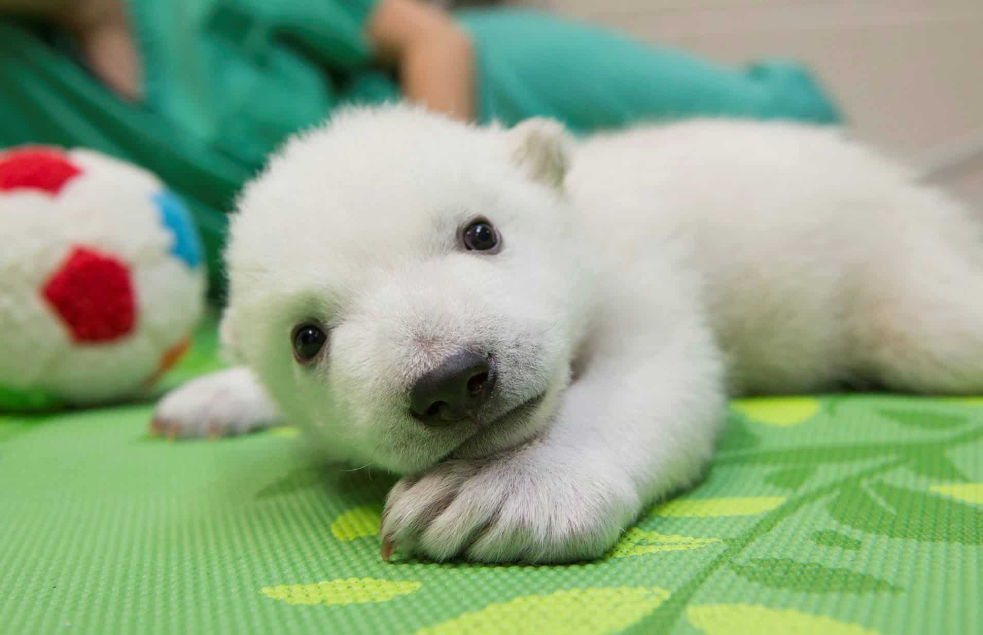 time lapse video of adorable baby polar bear growing from