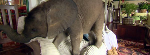 This Baby Elephant Doesn't Realize He Is Getting To Big To Be A House Pet!