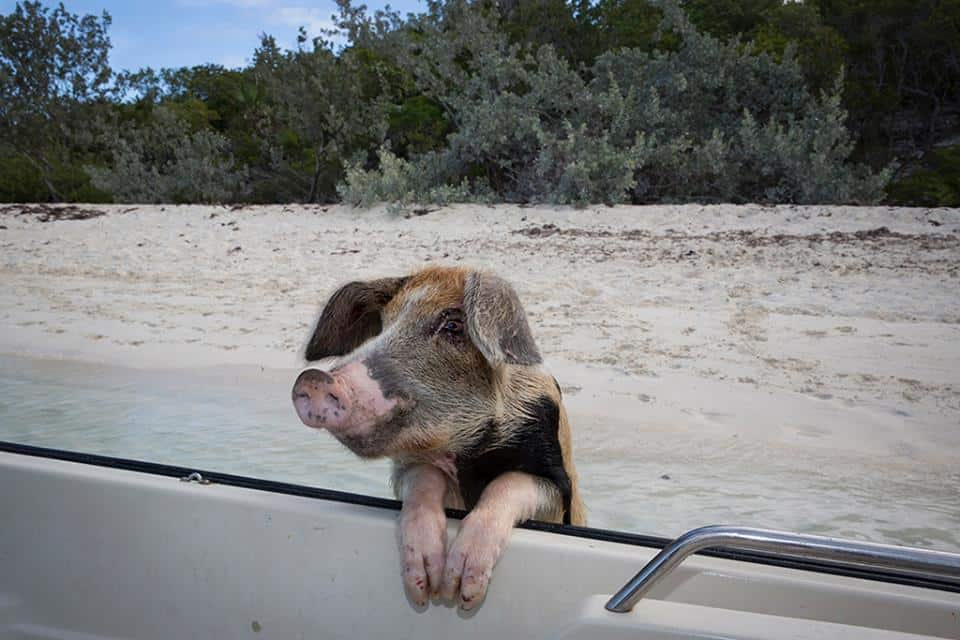 swimming pigs3