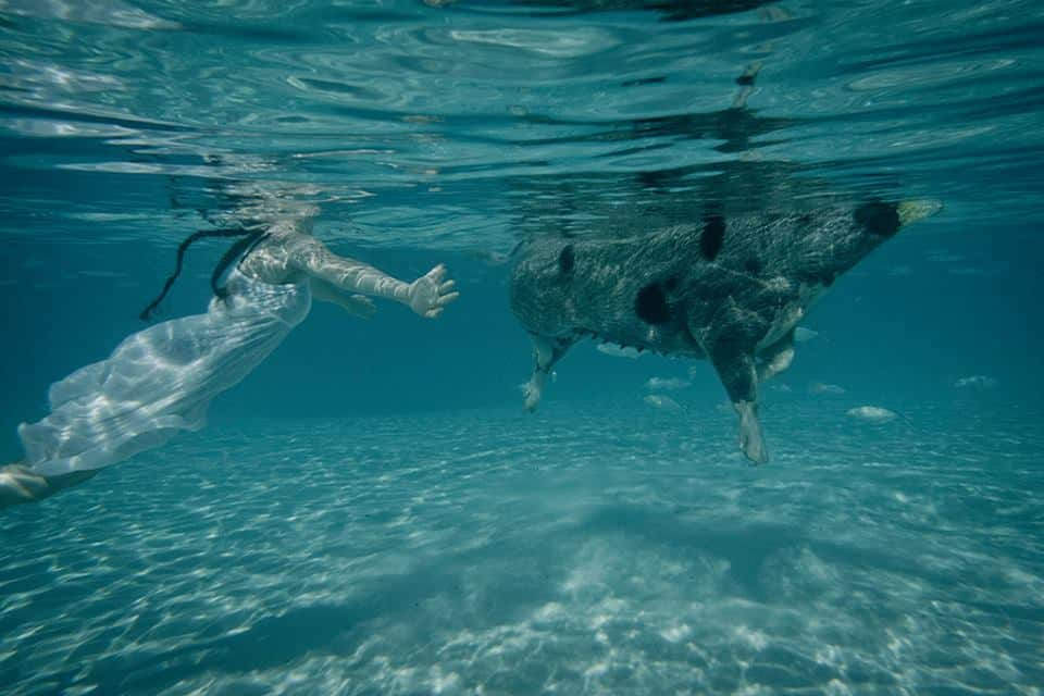 swimming pigs4