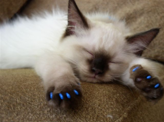 these stylish cat nail caps will prevent your cat from