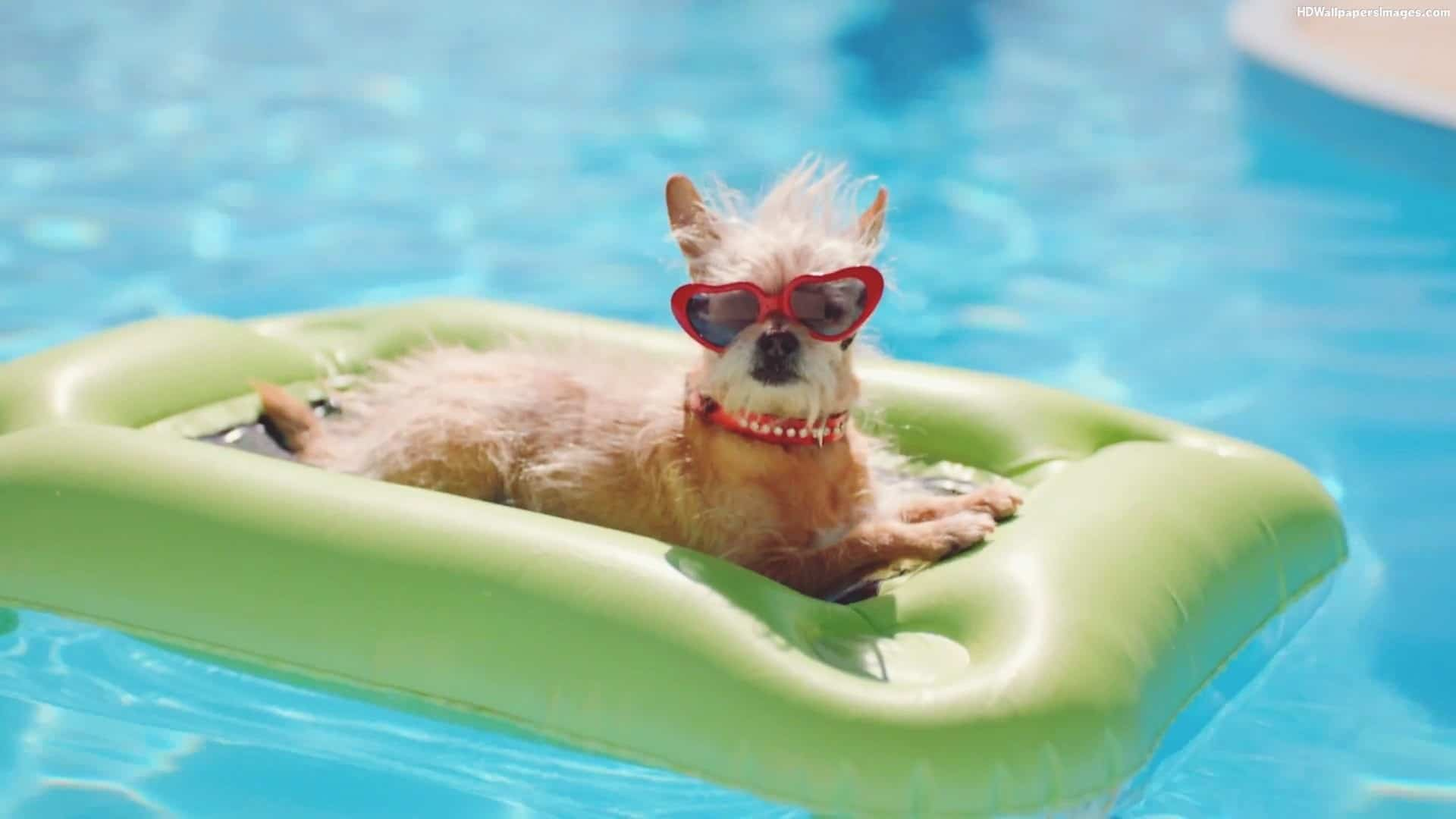 12 Tips To Keep Your Dog Safe In The Pool Awesomejelly Com