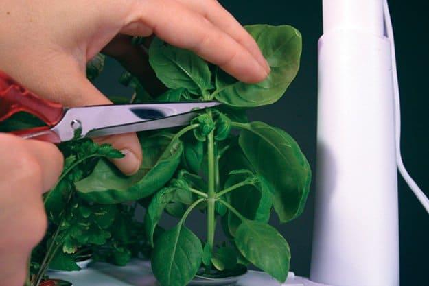 10-Veggies-You-Can-Grow-Again-Cut-Basil