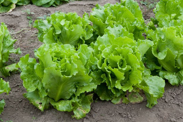 What-to-Plant-for-a-Successful-Fall-Harvest-Lettuce