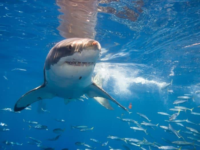 gw-shark1