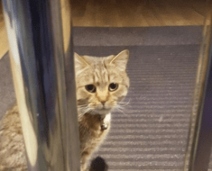 House Cat Is Fearless Against Mountain Lion
