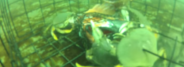 This Is What Actually Happens After A Crab Trap Is Thrown In The Ocean