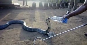 cobra drinks water bottle