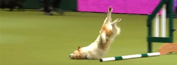 VIDEO | Hilarious Jack Russell Goes Crazy With Excitement At Dog Show