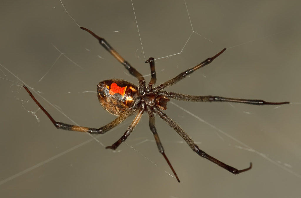 Poisonous black widow spider bites