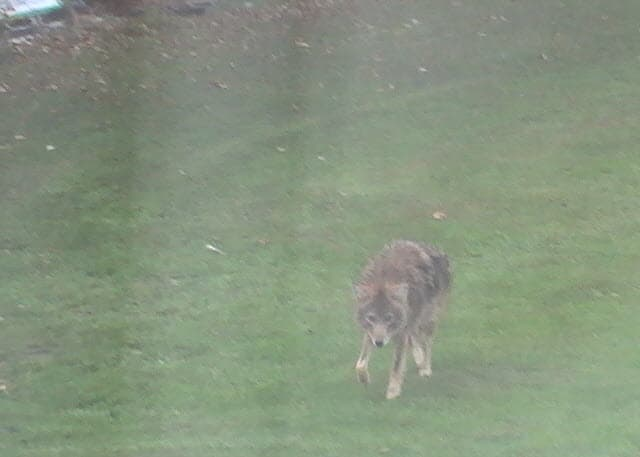 hybrid wolf coyote