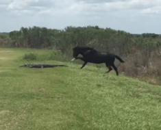 horse attack alligator florida