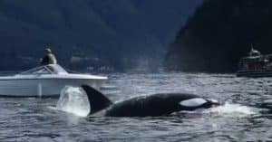 killer whales boat sea lion