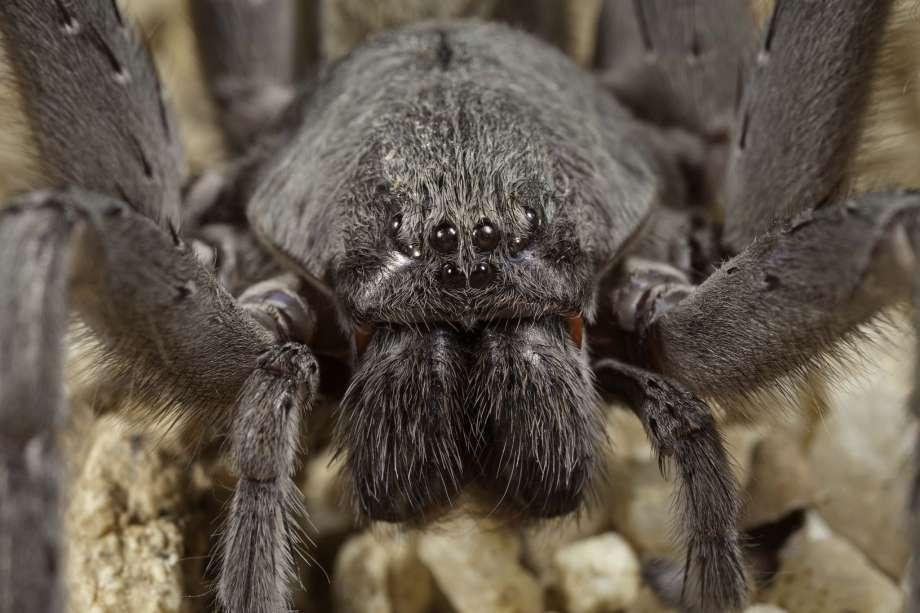 rare spider California
