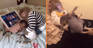monkeys use ipad