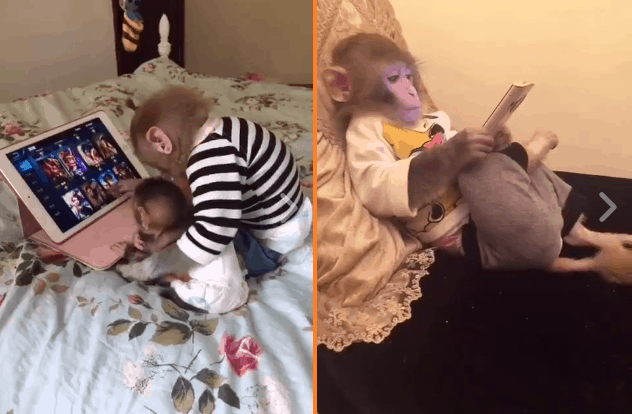monkeys use ipad
