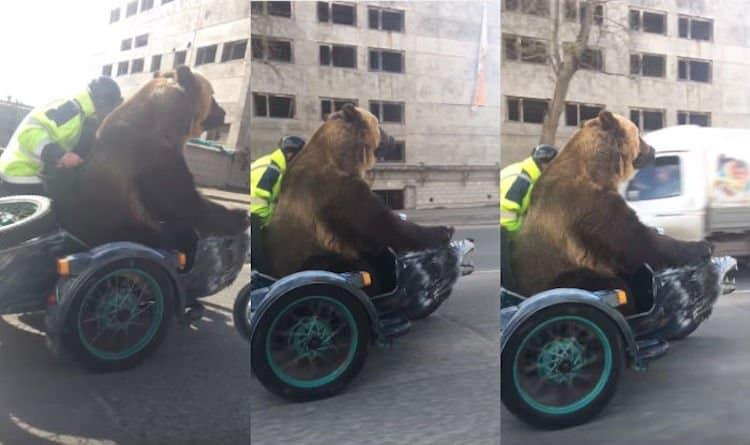 bear sidecar motorcycle Russia