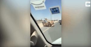 camels road traffic jam