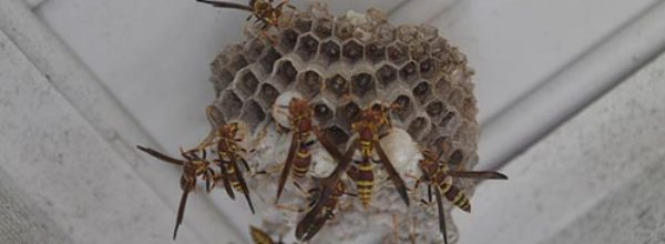 How To Get Rid Of Wasps Naturally!