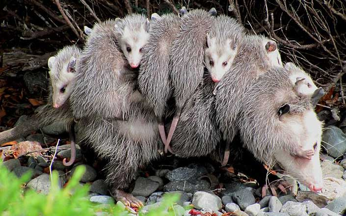 opossum carries babies back