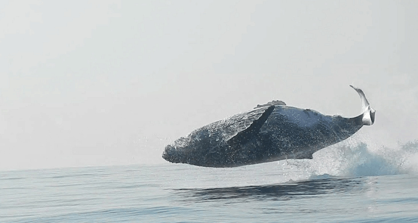 Rare Footage Humpback Whale Jumping Water