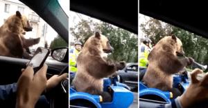 grizzly bear Russia sidecar traffic