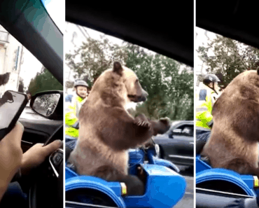 grizzly bear Russia sidecar traffic