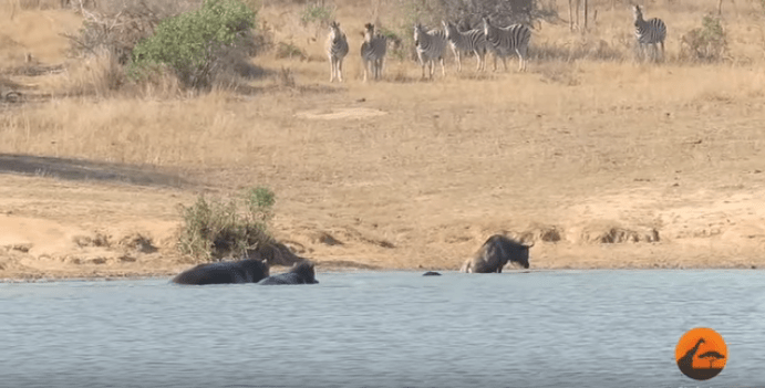 hippo crocodile wildebeest