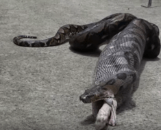 python eats pet cat