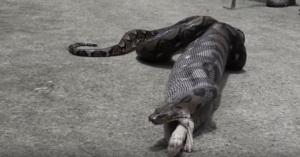 python eats pet cat