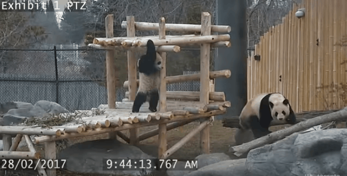 panda cubs toronto zoo