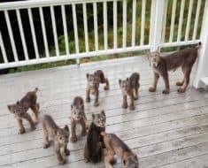 lynx Alaska pictures