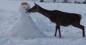 deer eats carrots snowman