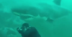 great white shark bumps diver