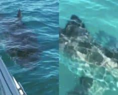 great white shark circles fishing boat