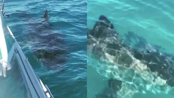 great white shark circles fishing boat